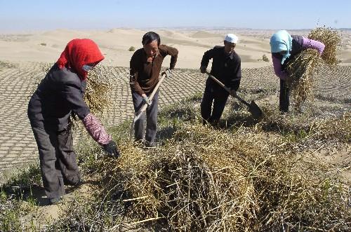 漠边缘的沙丘上扎草方格